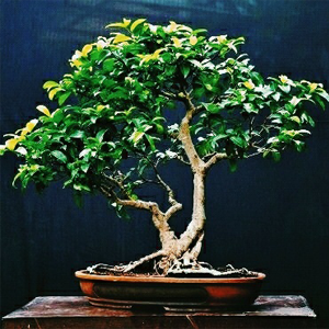 creosora-BEST-SELLING-PRODUCTS-img-bonsai1