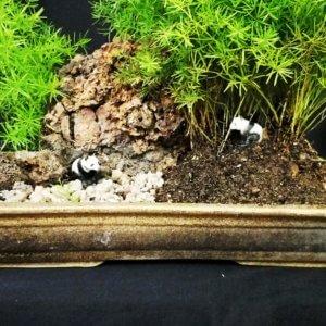 buy-online-Bonsai-plants-Mame-Kusamono-live-arts-creosora-68
