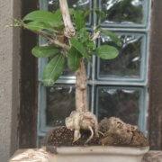 buy-online-decorative-plants-live-arts-creosora-infinite-creativity-56
