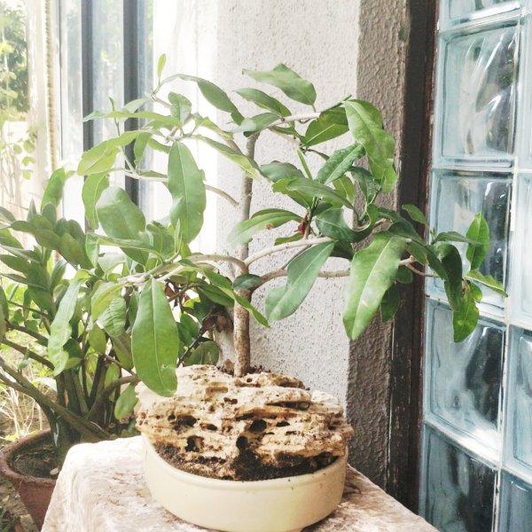 buy-online-decorative-plants-live-arts-creosora-infinite-creativity-54